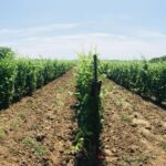 История виноделия. Давайте вместе разберемся когда появилось первое вино?